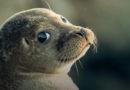 Лиепая: на пляже замечен первый в этом году тюлененок (+инструкция)