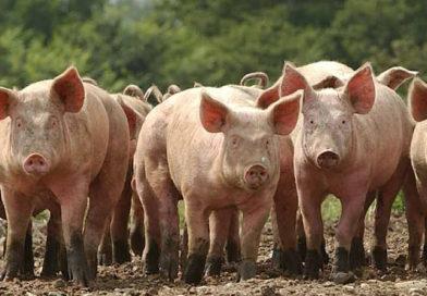 Пожар повышенной опасности в Курземе: погибли сотни свиней