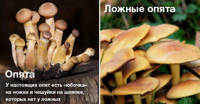 отличие съедобных грибов от несъедобных фото
