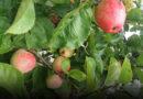 «Будете проезжать Дурбе, загляните за яблоками!»