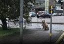 На площади Куршу сидит собака, возможно потерялась