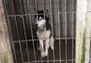 "Вентспилс: Из ""Парка хаски"" изъяли 26 собак"