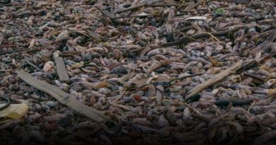 Лиепайский пляж. На берег выбросило тонны мертвой рыбы (видео)