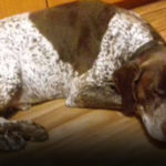Пропала собака породы Курцхаар