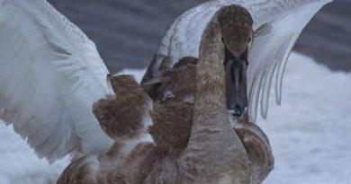 Из-за теплой зимы в Латвию вернулись первые перелетные птицы