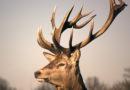 Найденные в лесу рога можно сдать и неплохо заработать