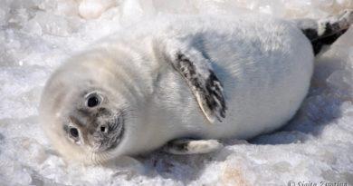 На пляже в Вентспилсе поселилось семейство тюленей (фото+видео)