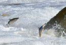 В Кулдиге отметят праздник «Lido zivis Kuldīgā 2019»