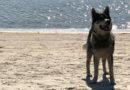 По пляжу бегает пес с цепью на шее
