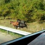 Видео: по обочине Лиепайского шоссе несутся кони