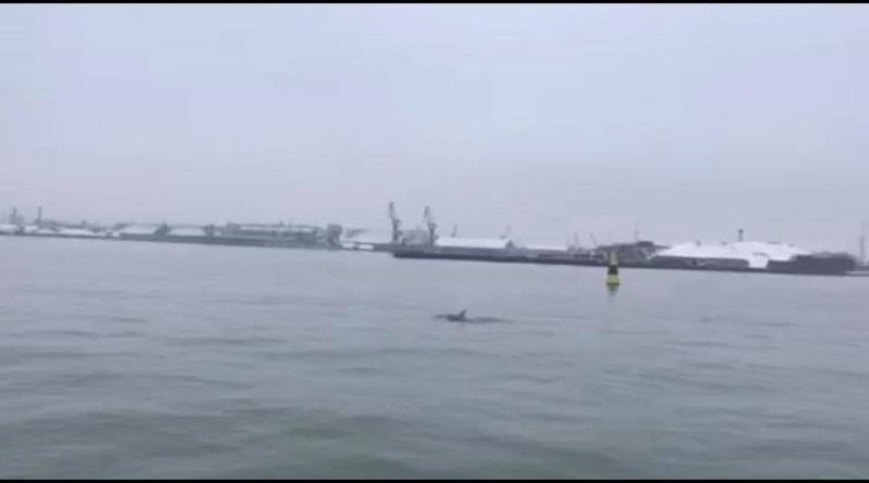 Что за чудо? Дельфин в Лиепае? (видео)