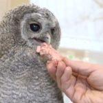 Ветеринар призывает нести мышей найденному в парке совёнку