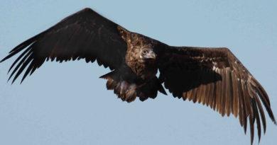 Наша природа: в Курземе замечен черный гриф