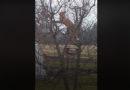 Лиса залезла на дерево в поисках добычи (видео)