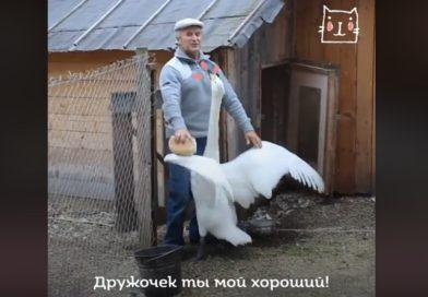 Дружба лебедя и человека (видео)