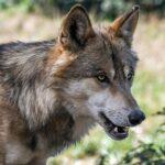 Курземе: дорогу водителю перегородила стая волков (видео)