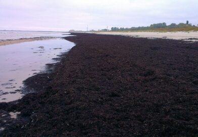 На Лиепайский пляж вымыло ценное удобрение – морские водоросли