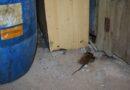 Лиепая: жильцы дома вынуждены соседствовать с крысами (видео)