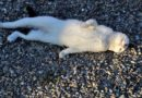 На улице Силькю обнаружены мертвые кошки – жильцы подозревают соседа