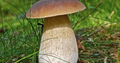 """""""Тихая охота"""" в самом разгаре: грибы находят даже в самом центре Лиепаи (фото)"""