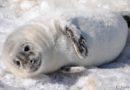 Как действовать, если на пляже встретишь тюлененка (видео)