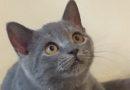Продаются Британские голубые котята (Лиепая)