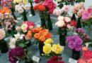 В Доме латышского общества пройдет выставка роз