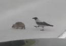 Сознательная латвийская ворона помогла ежу перейти дорогу (видео)