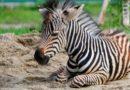 В мини-зоопарке дети отравили жеребенка зебры сладостями