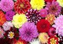 В Доме латышского общества пройдет заключительная в этом сезоне выставка цветов