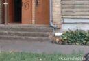 Лиса бегает в самом центре Лиепаи (видео)
