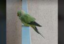 В Эзеркрасте пропал попугай – помогите поймать! (видео)